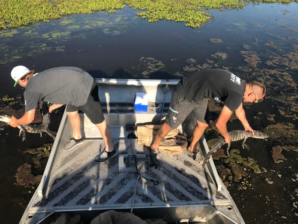Releasing farm raised alligators into the wetlands.